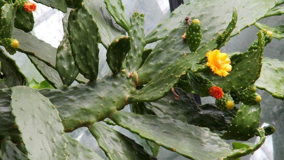 The Caribbean tree cactus can absorb 80% of ethylbenzene in the air. The toxic chemical can be found in items such as construction materials, electronic products, food packaging, furniture, garden care products and even toys.