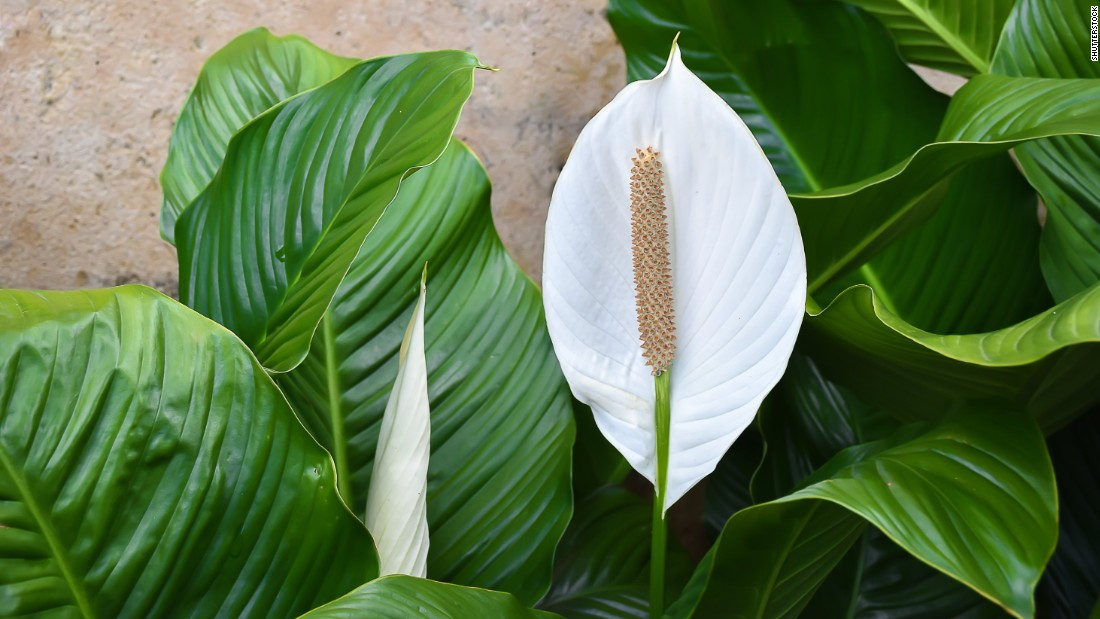If you work in an office in front of a computer or near printers, spathiphyllum wallisii or peace lily can help keep you healthy. They absorb electromagnetic radiation emitted by computers and printers and keep the air moisturized.