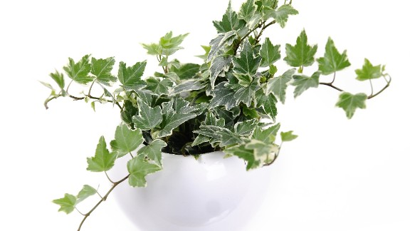 Another plant for cigarette smokers or those who are sensitive to smoke: hedera helix, or English ivy. It is also recommended for those who have asthma.