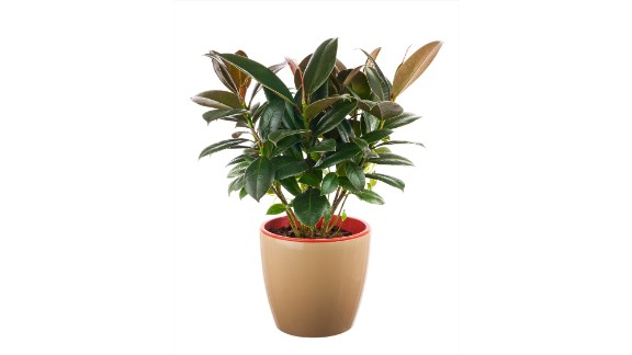 If your house smells, invest in a ficus elastica. The plant absorbs odors and reduces the number of microorganisms and the amount of toxic substances.