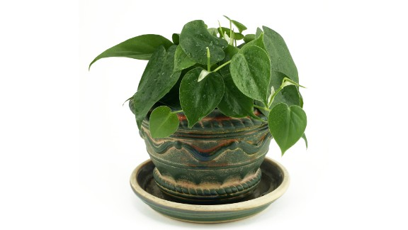 Philodendron scandens is effective in taking out formaldehyde, commonly found in cleaning products and gas stoves.