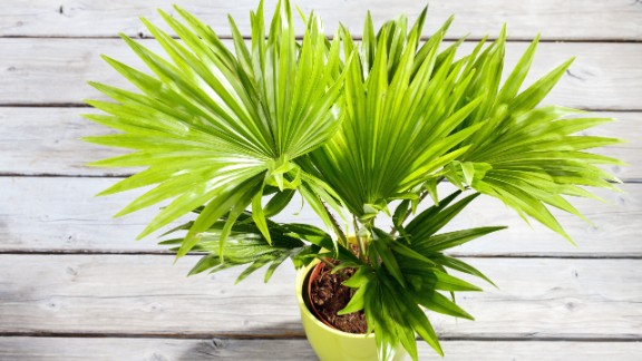 A palm tree not only brings you memories of vacationing on a tropical beach, it also helps regulate humidity levels.