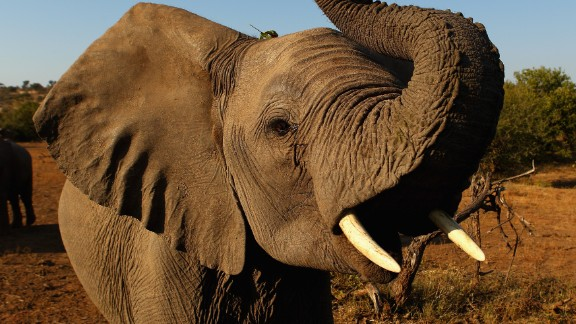 An elephant at the Mashatu game reserve on July 26, 2010 in Mapungubwe, Botswana. Mashatu is a 46,000 hectare reserve located in Eastern Botswana where the Shashe river and Limpopo river meet.  (Photo by Cameron Spencer/Getty Images)
