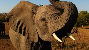 Study shows elephants vanishing at alarming rate