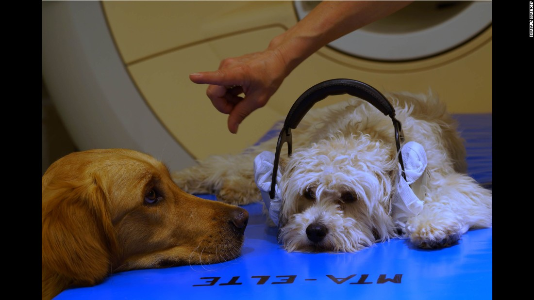 Two dogs participate in a MRI training session, in which they learn how to remain still while in the machine.