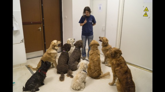 The dogs who participated in a MRI study about language processing, listen attentively to their trainer, Márta Gácsi.