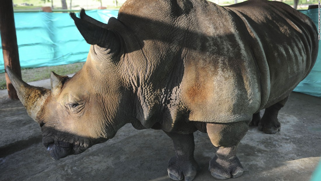 In 2011, a 30-year-old female rhino named Vera -- weighing 3½ tons -- was transferred from a Medellín zoo to Hacienda Napoles.