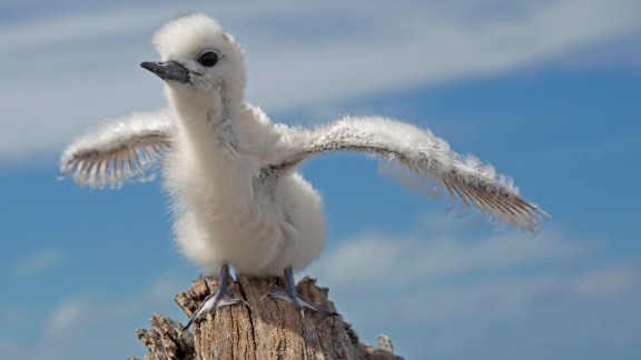 The White Tern is one of 19 bird species found on Midway Atoll in the North Pacific Ocean.