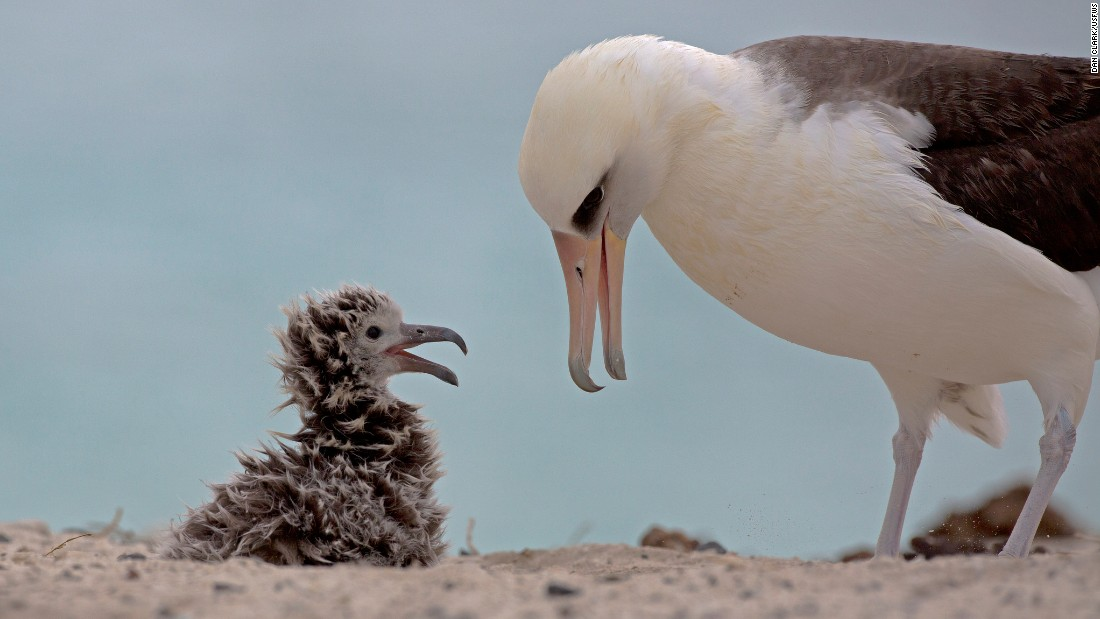 A Laysan albatross feeds its chick on Midway. The birds carry five tons of plastic waste onto the island each year.