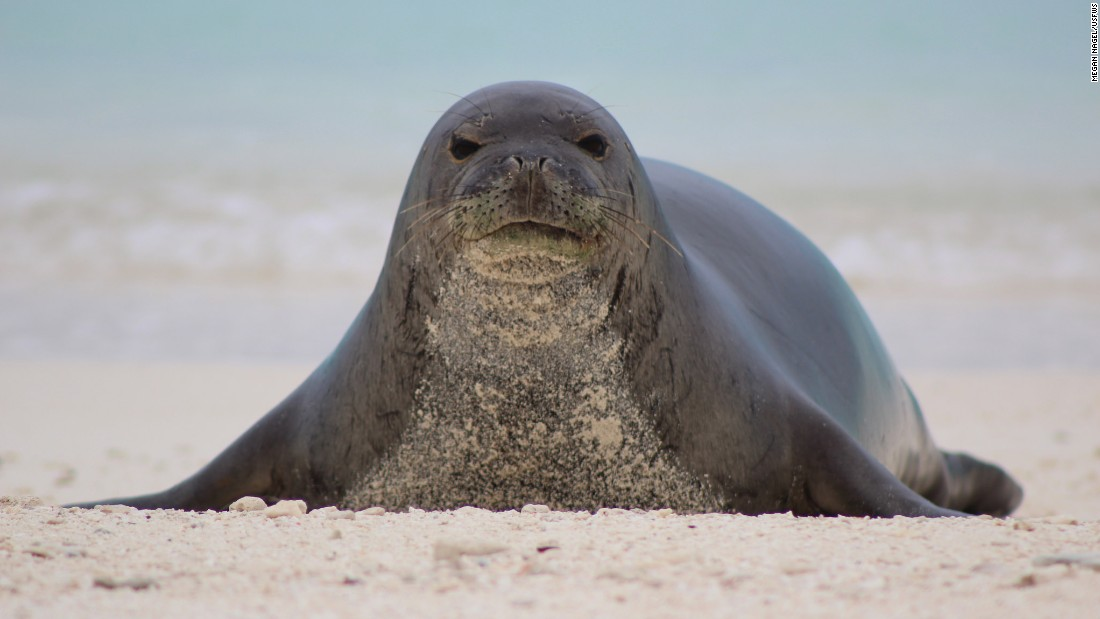 The endangered Hawaiian monk seal also calls Midway home.