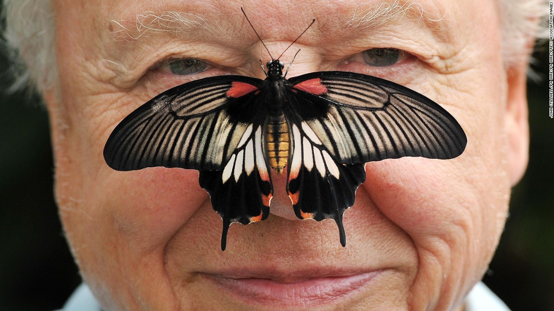 Big Butterfly Count. Butterfly Conservation President Sir David Attenborough with a south east Asian Great Mormon Butterfly on his nose, as he launched the Big Butterfly count at the London Zoo in Regent's Park, London. Picture date: Wednesday July 11, 2012. The Butterfly Conservation's citizen science project aims to chart how common garden butterflies are faring this summer. Photo credit should read: John Stillwell/PA Wire URN:14011191