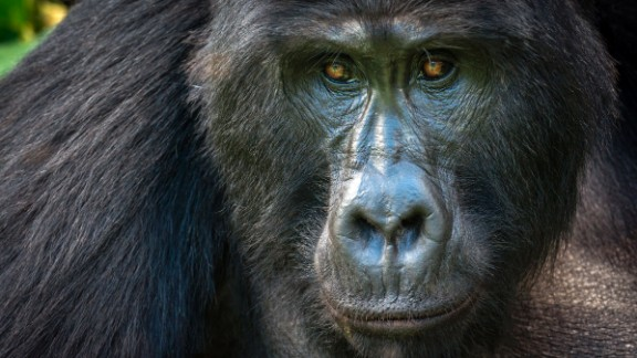The mountain gorilla, seen here, is doing better than its counterpart, the Grauer's gorilla.