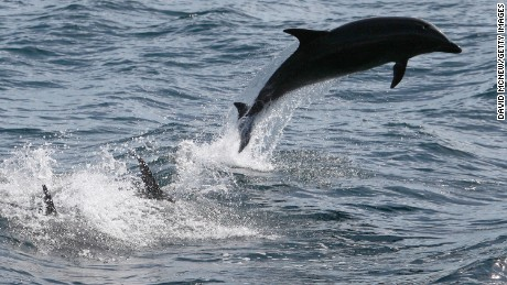 Bottlenose dolphins leap off the Southern California coast.