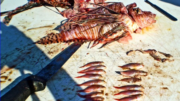 Invasive lionfish are not recognized as a threat by native fish, allowing them to gorge to the point of obesity.   Lionfish eat everything from shrimp and squid to molluscs and lobster, and have decimated native species populations.