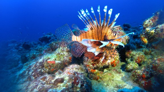 Studies have shown lionfish wiping out 80-90% of reef biodiversity within weeks of arrival, including species that maintain the reef itself.