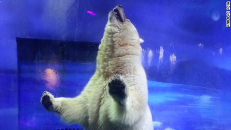 Pizza the polar bear could be moved to a sanctuary if his current owners agree.