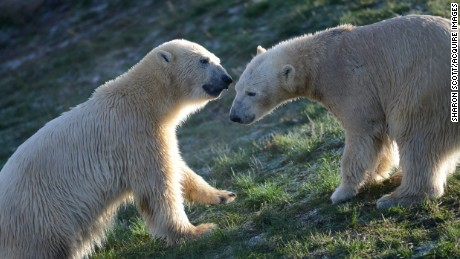 The Yorkshire Wildlife Park has a specially designed polar bear enclosure designed to mimic being in the wild.