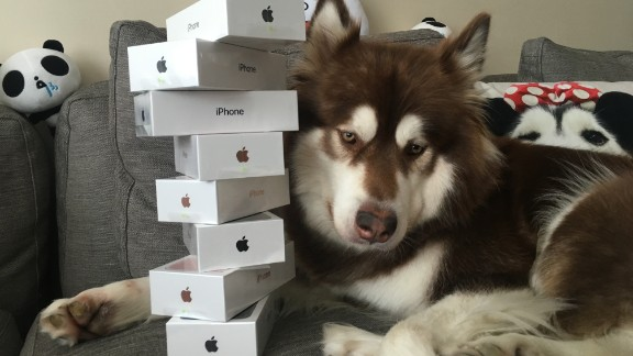 Coco the Alaskan malamute poses with her iPhone 7 handsets.