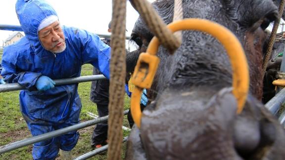 Keiji Okada, associate professor of veterinary medicine and agriculture at Iwate University, examines a cow at Ikeda Ranch in Okuma town, 5 kilometers (3 miles) west of Japan's crippled Fukushima Dai-ichi nuclear power plant.