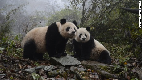 Sixteen year old panda, YeYe and her two-year-old female panda Hua Jiao explore their enclosure at the Wolong Nature Reserve managed by the China Conservation and Research Center for the Giant Panda in Sichuan province, China October 31, 2015.  YeYe's 2 year old cub was released at the Liziping National Nature Reserve on November 19, 2015. Hua Jiao is the fifth panda released into the wild over nine years. (Photo by Ami Vitale)
