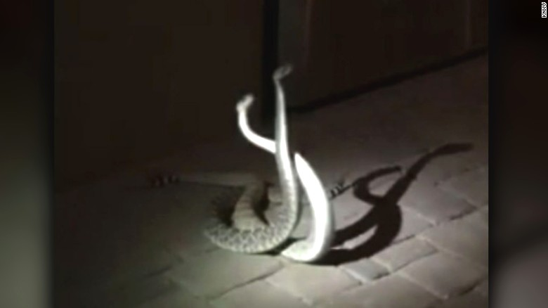 Duel between two rattlesnakes caught on camera