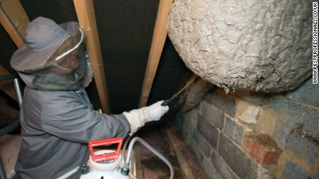A pest control company discovered the gargantuan wasp nest