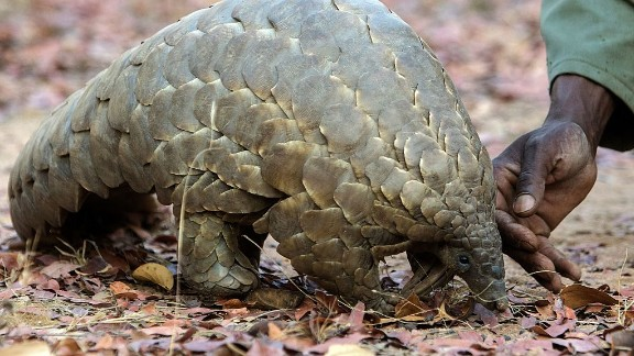 All eight species of pangolin could be given the highest-protected status in recognition of a vast illegal trade that has decimated their numbers.   Pangolin scales are in great demand for use in traditional Asian medicines.
