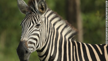 Black and white stripes help protect zebras from insect bites.