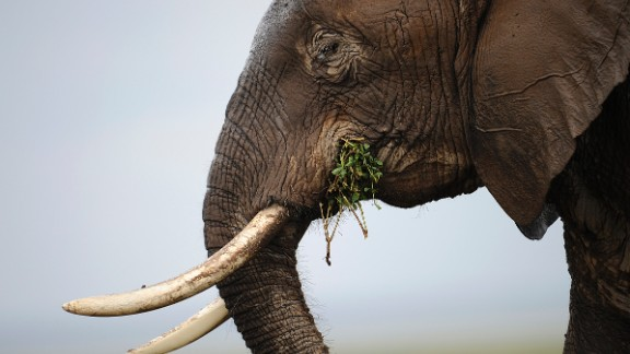 Photo made on December 30, 2012 shows an elephant at the Amboseli game reserve, approximately 250 kilometres south of Kenyan capital Nairobi. Drawing to its close today, this year 2012, according to the International Fund for Animal Welfare, IFAW, stands out as the