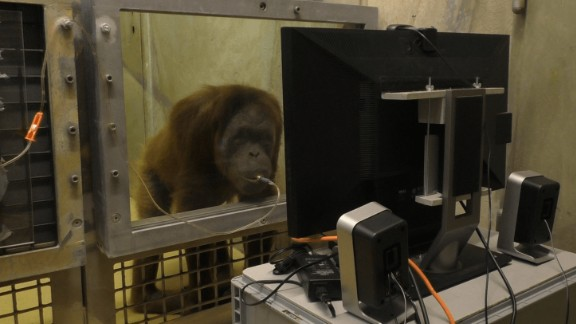Researchers use juice to attract the apes to the spot where they can watch the videos.