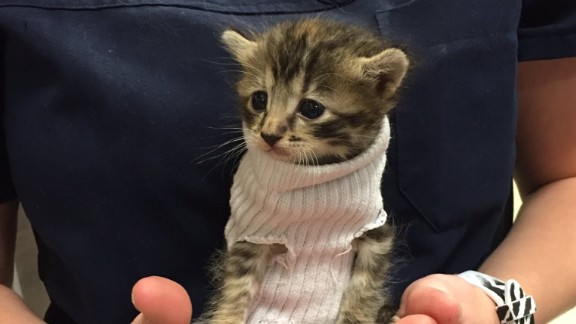 A kitten in a makeshift sweater awaits adoption at a local pet store