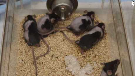 Bald mice regrew hair on their right sides but not on their left after being treated with an experimental cream for hair loss.