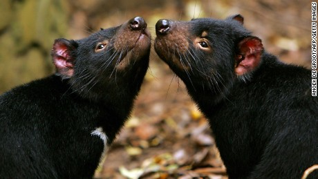 New hope in superbug fight: Tasmanian devil milk