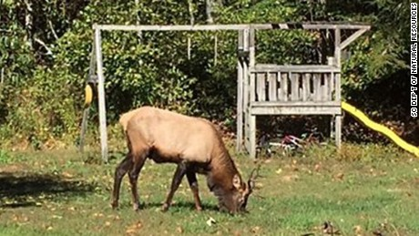 A bull elk finds some good eating in a South Carolina back yard.
