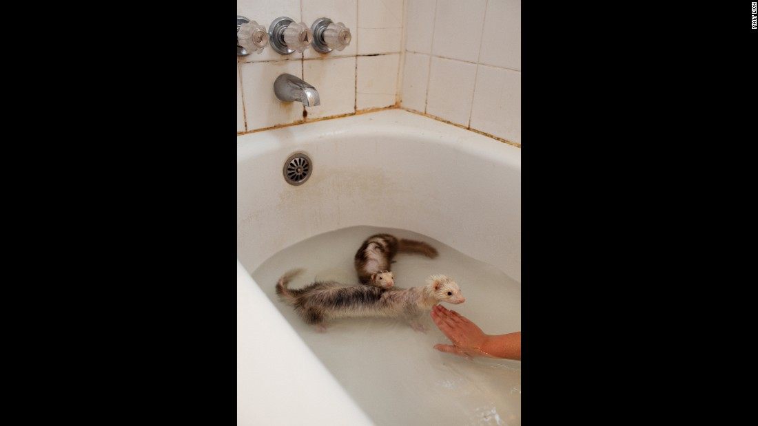 Kacey bathes the ferrets she and Lacey keep as pets.