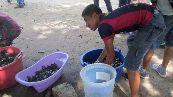 Volunteers prepare to release thousands of baby Taricaya turtles.