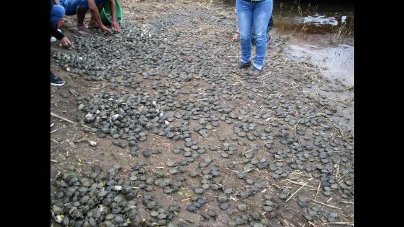 Thousands of baby Taricaya turtles were released in a stream of the Pacaya-Samiria National Reserve in Peru's  Loreto region.