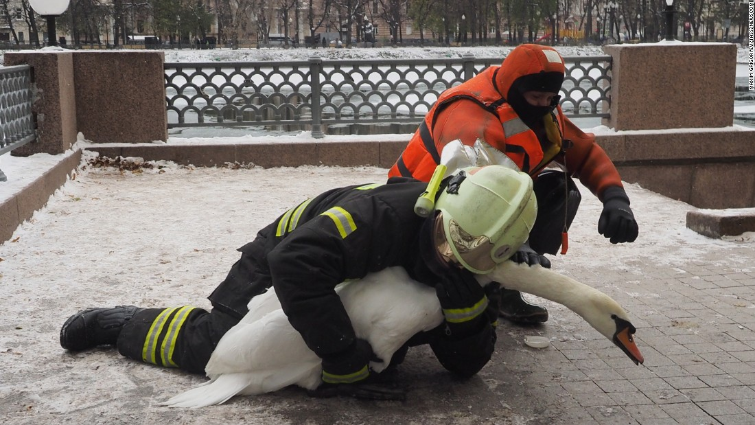 A swan is rescued from the frozen Patriarch Ponds in Moscow on Wednesday, November 2.