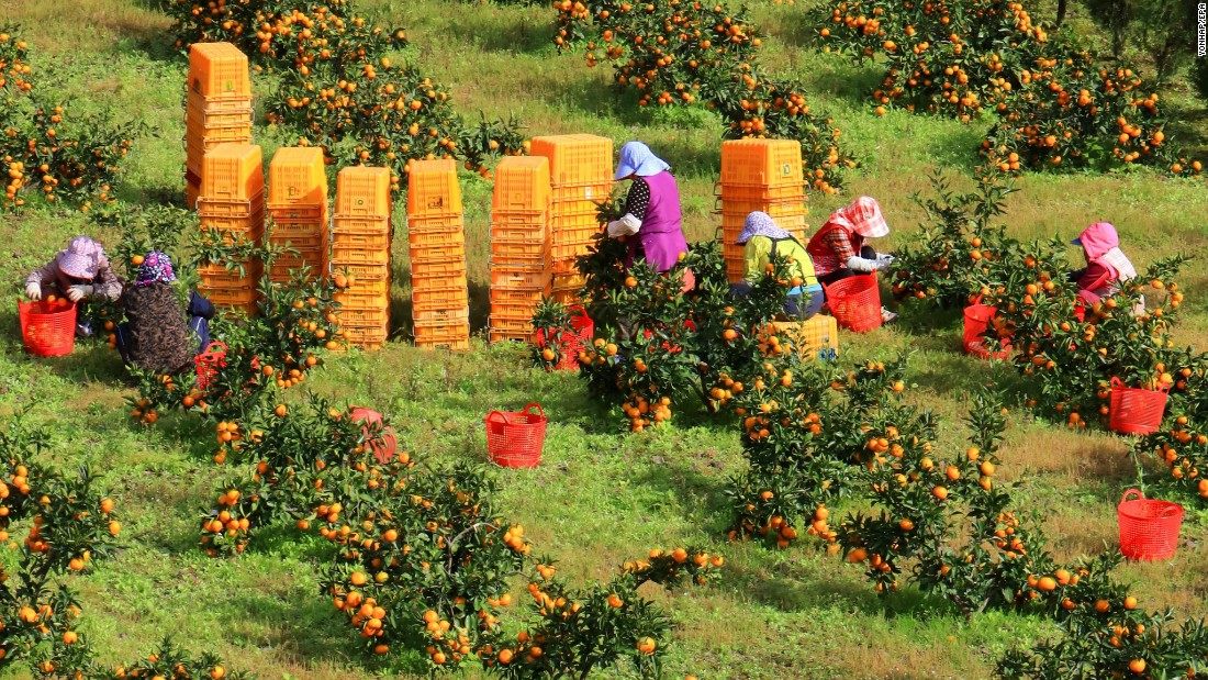 Farmers harvest ripened tangerines on South Korea's Jeju Island on Sunday, October 30.