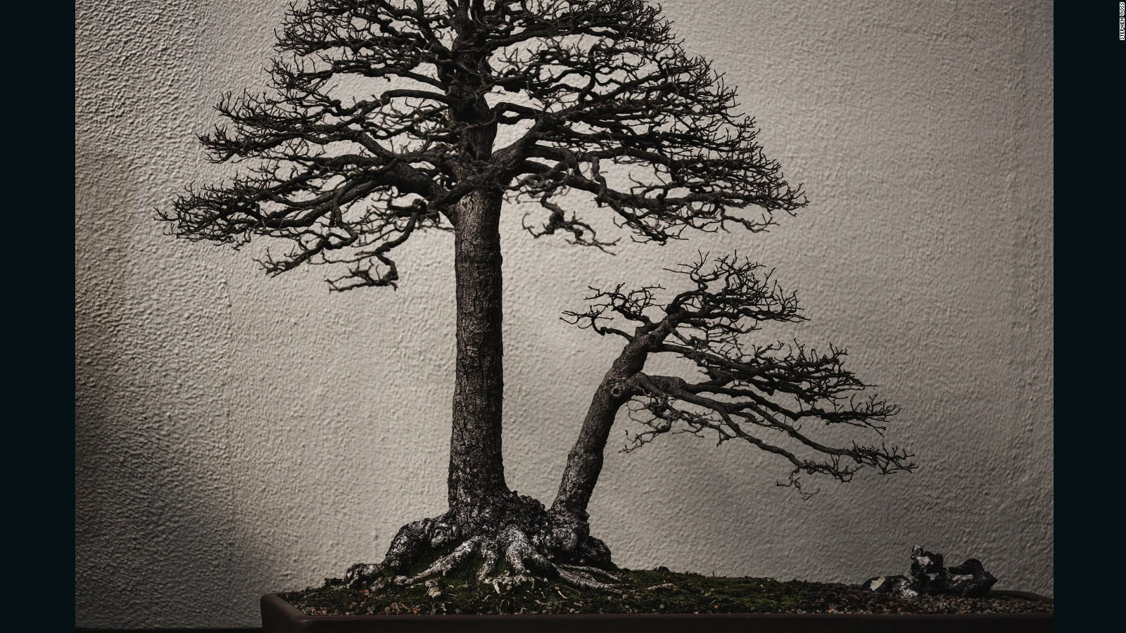 Bonsai Masters Share Their Ancient Secrets Cnn Style Wiring Your Tree