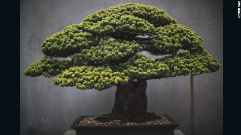 """Washington DC-based portrait photographer <a href=""""http://www.stephenvoss.com"""" target=""""_blank"""">Stephen Voss</a> started photographing bonsai in 2014, as a personal side project. One of the US National Arboretum's most spectacular bonsai, this Japanese white pine survived the atomic bombing of Hiroshima. It was presented to the US from the Japanese government in 1976, as a symbol of peace. """"It's astonishing how long these trees live,"""" says Voss. """"Every single day for 400 years, there has been someone caring for this tree. These people make this their life's work and then they pass it on to someone else."""" (Credit: Stephen Voss)"""