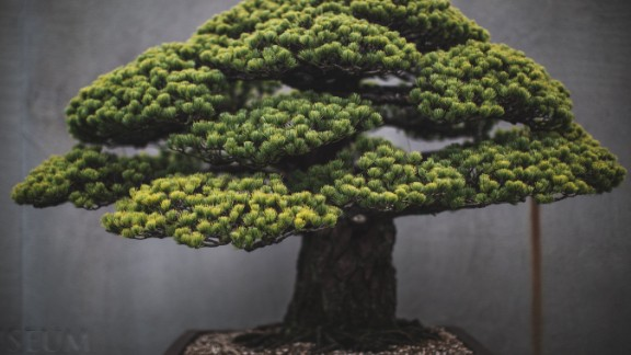"""Washington DC-based portrait photographer Stephen Voss started photographing bonsai in 2014, as a personal side project. One of the US National Arboretum's most spectacular bonsai, this Japanese white pine survived the atomic bombing of Hiroshima. It was presented to the US from the Japanese government in 1976, as a symbol of peace. """"It's astonishing how long these trees live,"""" says Voss. """"Every single day for 400 years, there has been someone caring for this tree. These people make this their life's work and then they pass it on to someone else."""" (Credit: Stephen Voss)"""