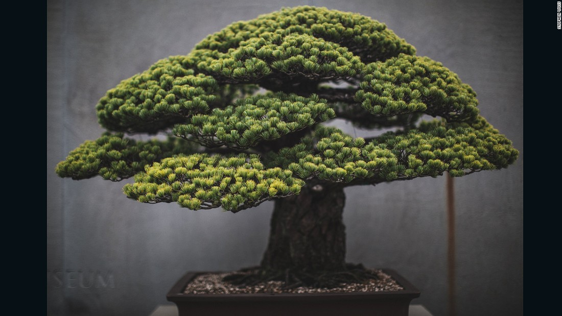 "Washington DC-based portrait photographer <a href=""http://www.stephenvoss.com"" target=""_blank"">Stephen Voss</a> started photographing bonsai in 2014, as a personal side project. One of the US National Arboretum's most spectacular bonsai, this Japanese white pine survived the atomic bombing of Hiroshima. It was presented to the US from the Japanese government in 1976, as a symbol of peace. ""It's astonishing how long these trees live,"" says Voss. ""Every single day for 400 years, there has been someone caring for this tree. These people make this their life's work and then they pass it on to someone else."" (Credit: Stephen Voss)"