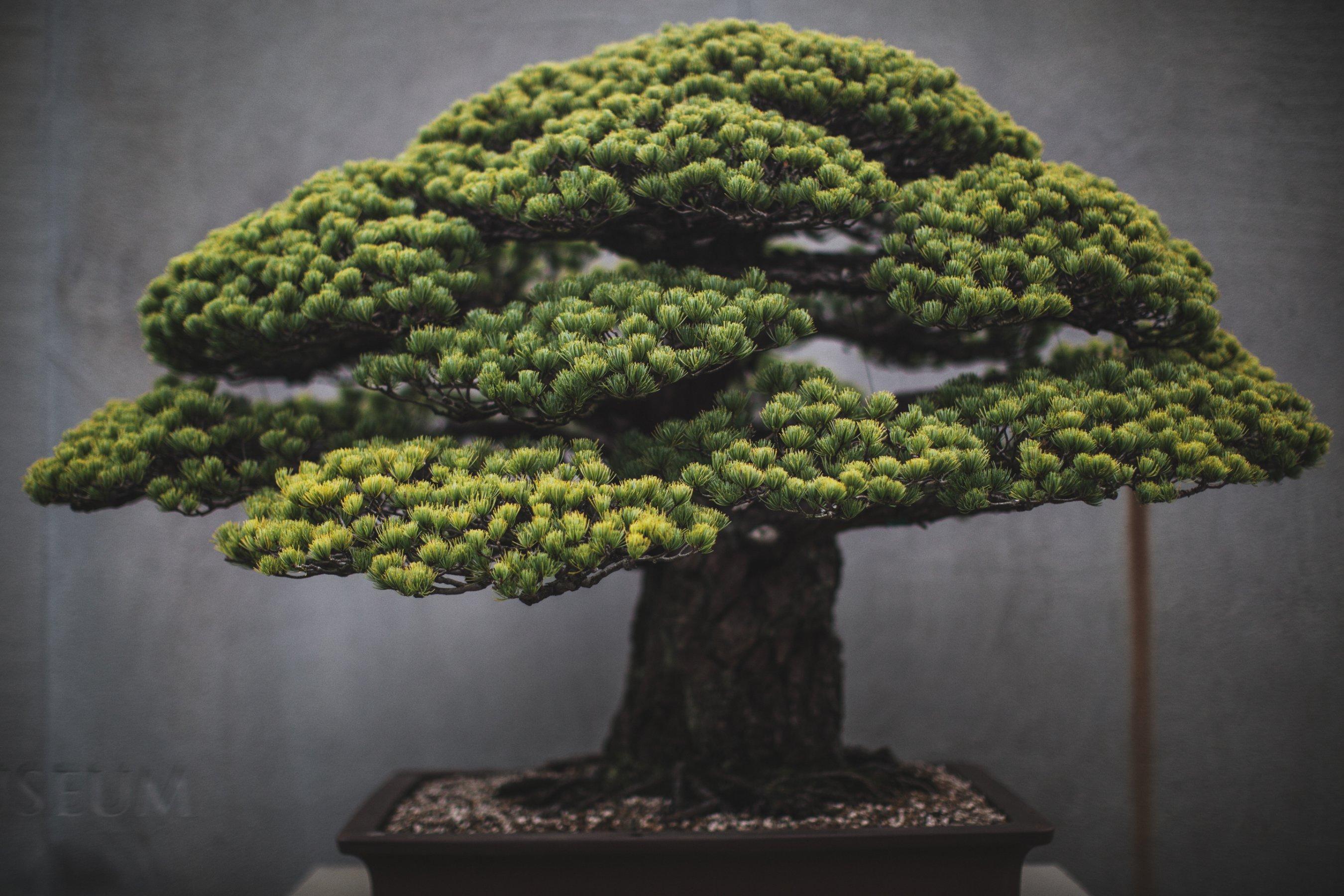 Bonsai Masters Share Their Ancient Secrets Cnn Style Wiring Time