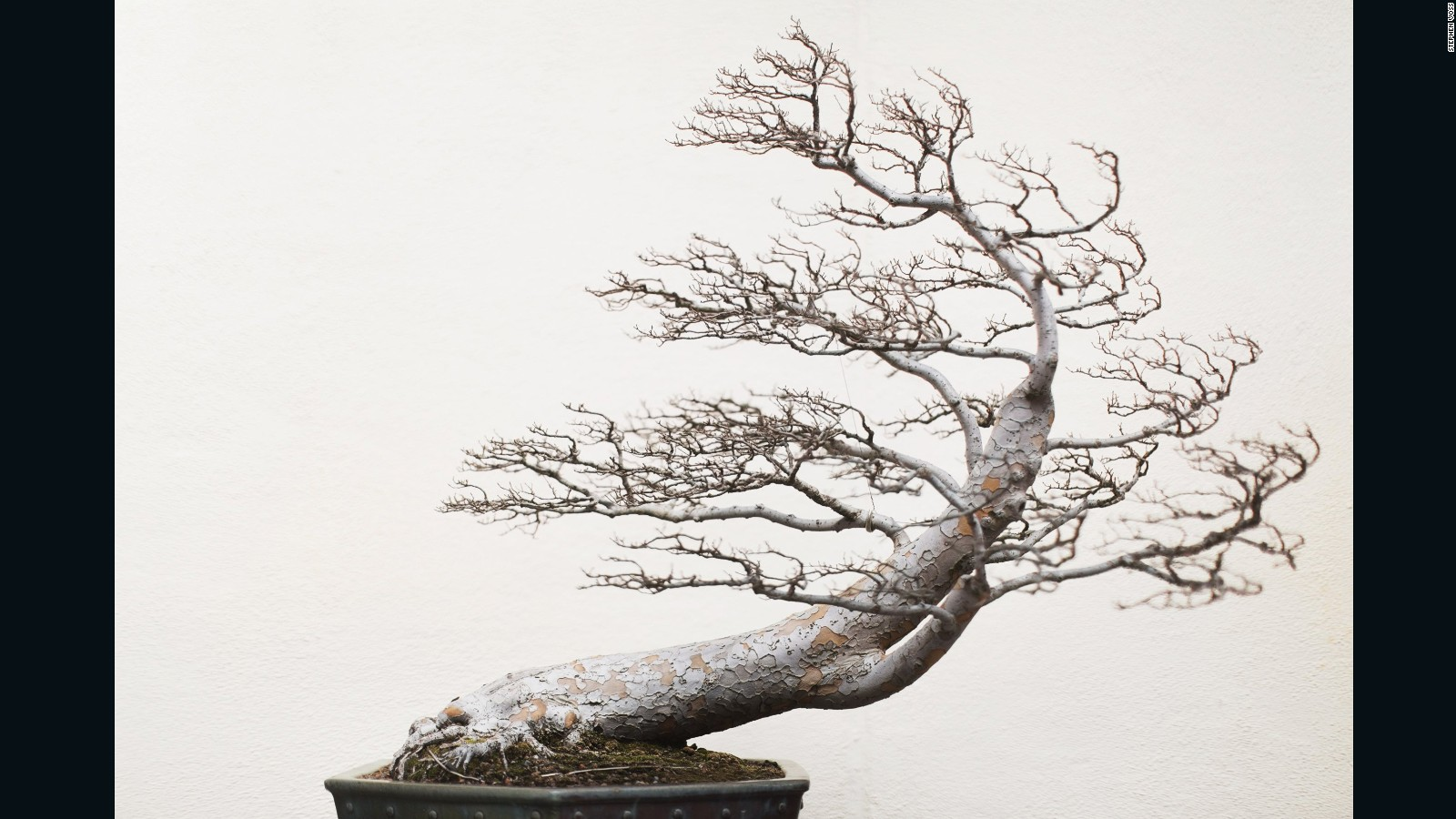 Bonsai Masters Share Their Ancient Secrets Cnn Style