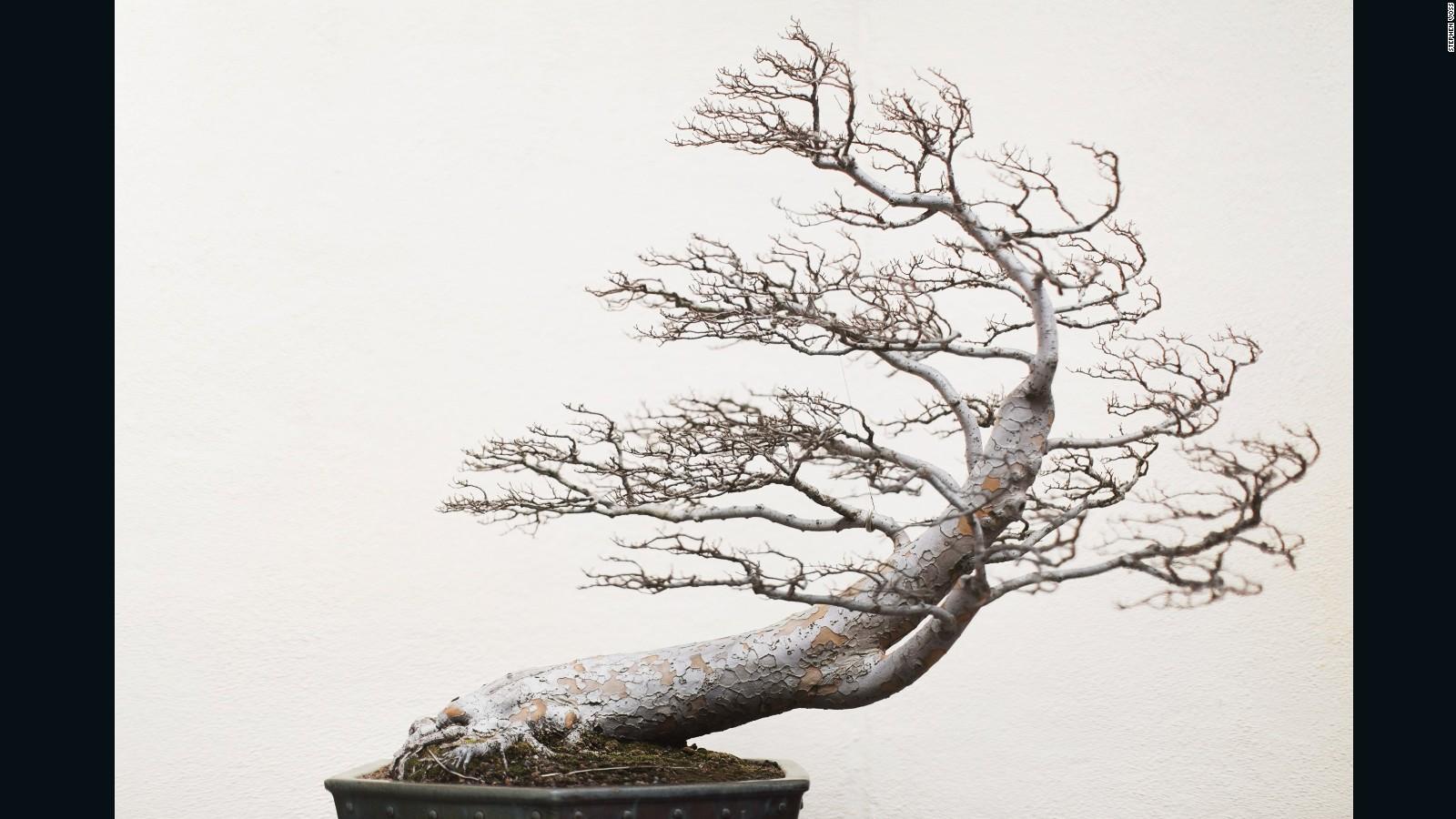Bonsai masters share their ancient secrets - CNN Style
