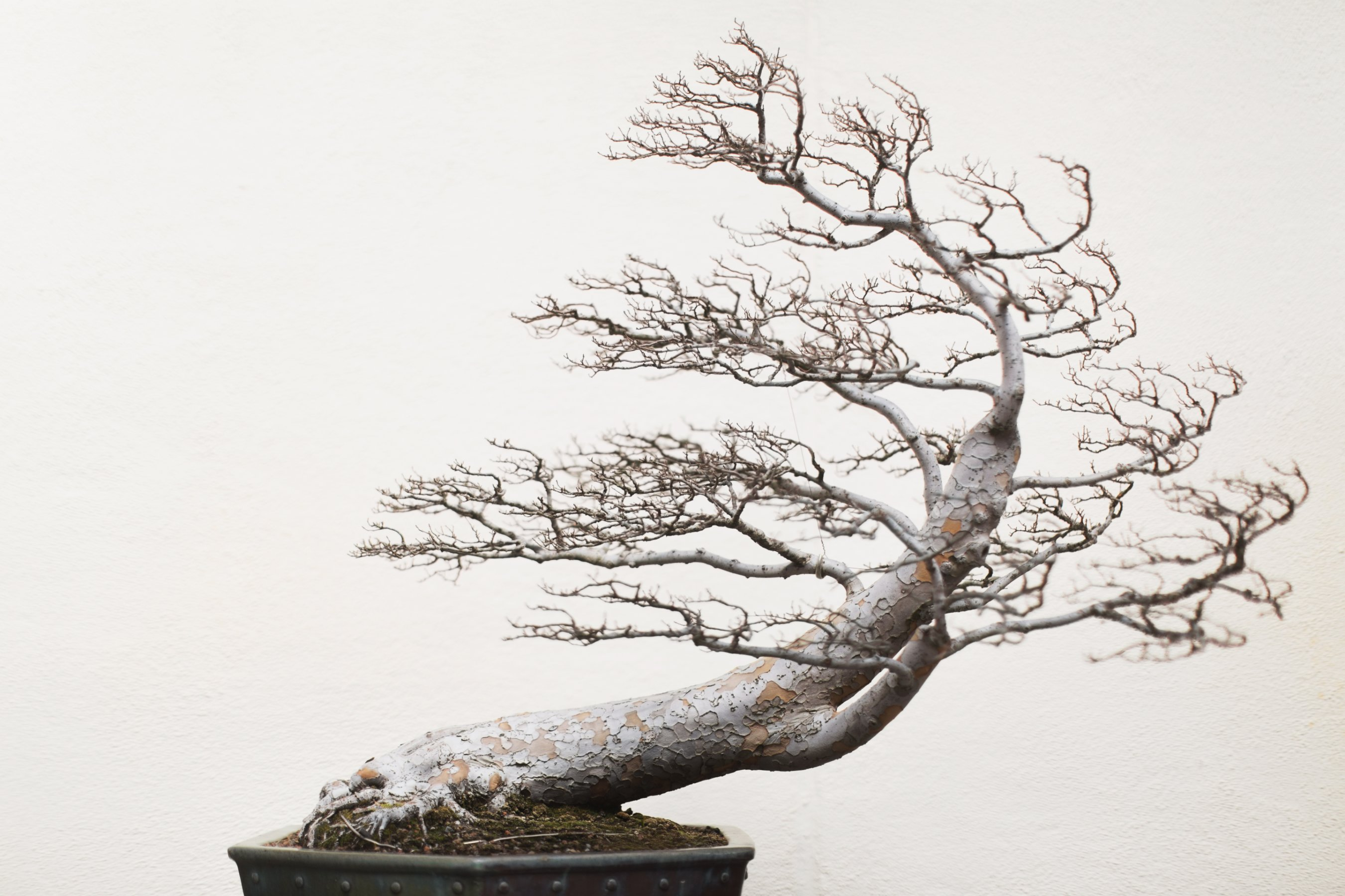 Bonsai Masters Share Their Ancient Secrets Cnn Style Wiring Demo