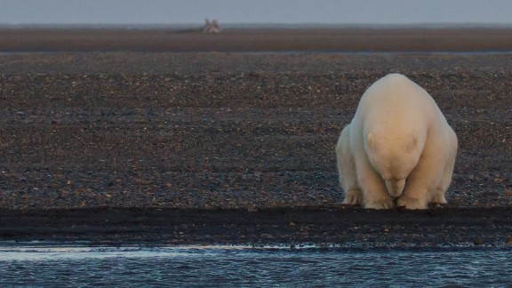A solitary bear sits on the edge of one of the Barter Islands. There is no snow, when at this time of year, there should be. In speaking with the locals in Kaktovic, they