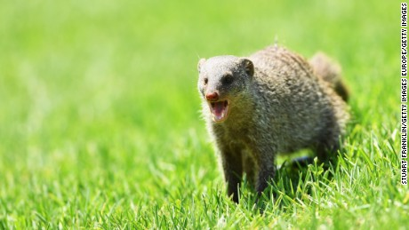Mongooses invade golf tournament - again