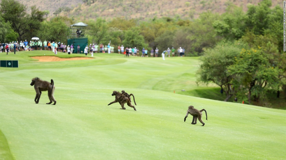 And in 2014, baboons found their way onto the fairways.
